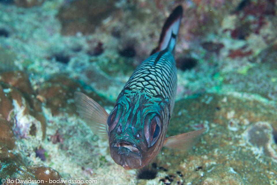 BD-130709-Maldives-9790-Myripristis-adusta.-Bleeker.-1853-[Shadowfin-soldierfish].jpg